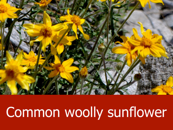 Common woolly sunflower