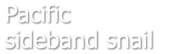 Pacific sideband snail