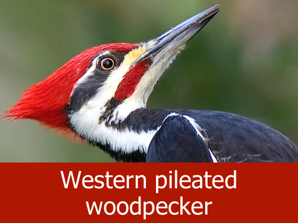 Western pileated woodpecker